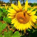 јгроцентр семена предлагает посевной материал  подсолнечника