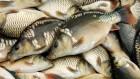 куплю свежую, живую рыбу Одесса