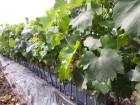 Привитые саженцы столового и технического винограда
