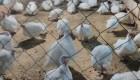 Инкубационное яйцо индейки кросс БИГ-6, птенец индейки, индюшонок