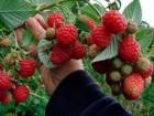 Продам ягоди малини оптом.Обєм до двох тон