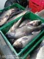 Продам живую рыбу малька и товарную; щука, белый амур, карп, толстолоб