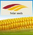 Урожайная кукуруза французской селекции Ален (фао-250), Элисон(фао-29