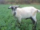 Дойная коза безрогая Продам