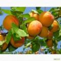 Закупаем абрикос оптом