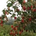 Продам ягоду малину
