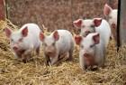 Качественный комбикорм для свиней
