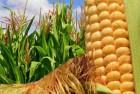 Закупаю кукурузу на элеваторах под свои контракты