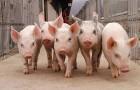 Реализуем ремонтных свинок, поросят