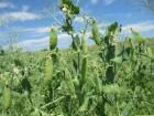 ѕродам семена Ќута –озанна и Ѕар 1-¤ репродукци¤