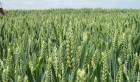 Посівний матеріал озимої пшениці урожаю 2017 року
