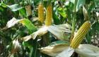 –ивэра - гибрид кукурузы с высокой влагоотдачей