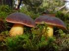 Куплю свежие польские грибы