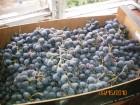 Продам виноград Изабелла.