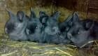 Кролики НЗБ, Венская голубая