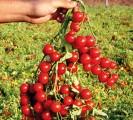 Семена томата Стромболино f1