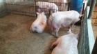 Продам свиней живым весом мясной породы)