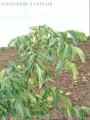 Саженцы грецкого ореха интенсивные сорта(скороплодные, низкорослые).