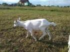 Продається дійна молочна коза, та козочки