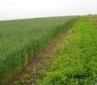 """озима пшениця """"Скіпетр"""" найкраща для пізнього посіву"""