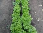 Продам семена Салата Одесский Кучерявец оптом и в розницу