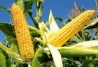 Семена кукурузы ГРАН 220, ФАО 210. Ранний, Высокоурожайный. Оригинато