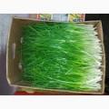 Продам лук зелёный сорт штука расфасовка 10 кг в ящиках оптом.