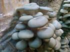 Грибы вешенки. Готовые грибные блоки.