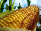 Продам семена кукурузы Полтава