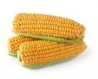 Продам семена кукурузи Кредо