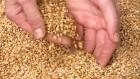 закупаем пшеницу 2-6кл.