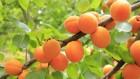 Закупка абрикоса для переработки