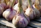 Продам часник сорт Любаша, вырощен органически , как для себя!