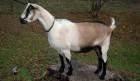 Продаю Альпийскую дойную козу