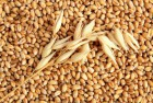 Відходи пшеничні і ячмінні