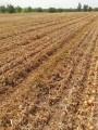 Семена лука репчатого Griffaton Konstanza F1