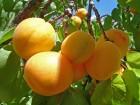 Оптовая закупка абрикос