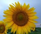 Гибрид подсолнечника Жалон, урожайный, засухоустойчив, олийный