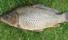 Продам живую рыбу (карп, толстолоб, белый амур).