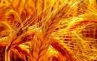 Семена пшеница  OSHAVA  Канадский  гибрид  двуручка  ОШАВА насiння