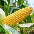 Семена кукурузы Монблант ФАО-320