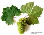 Виноград - продам
