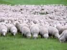 Куплю дорого баранов, овец, меринос и романов породы 60 гр