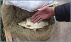 Продам высококачественный зарыбок (малек), двухлетний карп