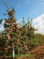 —аджанц≥ плодових дерев (¤блука, груш≥, абрикоси)