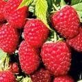 Продам ягоди літньої малини