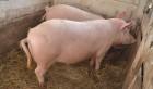 Продам свиней 140-150кг