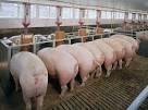 продажа беконных свиней