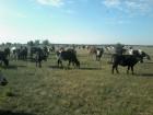 продам коров, телок