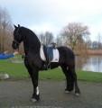 чистокровная фризская лошадь-кобыла (Christie) Покупка